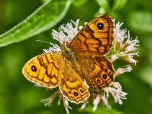 Mauerfuchs (Lasiommata megera) Weibchen