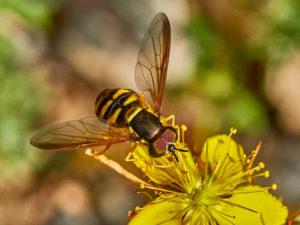 Verrall's Wespenschwebfliege (Chrysotoxum verralli)