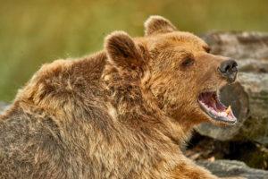 Braunbär (Ursus arctos) Weibchen