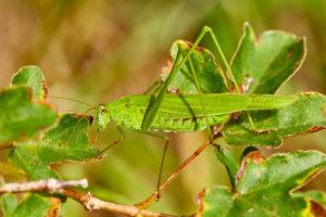 Gemeine Sichelschrecke (Phaneroptera falcata)