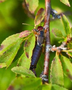 Gemeiner Ohrwurm (Forficula auricularia)