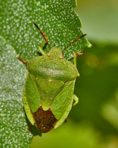 Grüne Stinkwanze (Palomena prasina), Sommerform