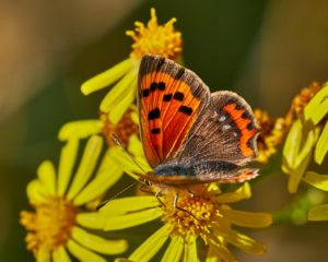 Blauschillernder Feuerfalter (Lycaena helle) Maennchen