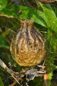 Kokon der Wespenspinne (Argiope bruennichi)