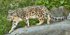 Schneeleopard (Panthera uncia)