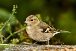 Buchfink (Fringilla coelebs) Weibchen