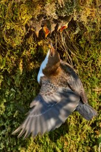 April 2020 II · Wasseramsel füttert am Nest