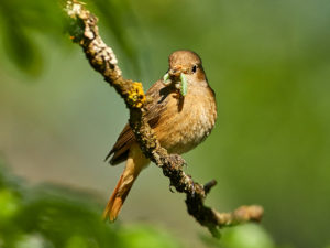 Gartenrotschwanz (Phoenicurus phoenicurus) ♀