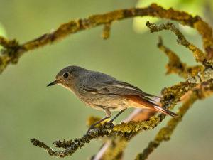 Hausrotschwanz (Phoenicurus ochruros gibraltariensis) ♀