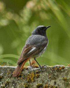 Hausrotschwanz (Phoenicurus ochruros gibraltariensis) ♂