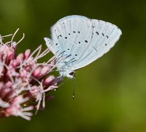 Gartenbläuling (Celastrina argiolus)