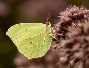Zitronenfalter (Gonepteryx rhamni) ♂