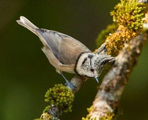 Haubenmeise (Lophophanes cristatus)