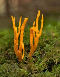Klebriger Hörnling (Calocera viscosa)
