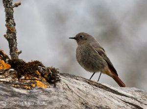 Hausrotschwanz ♀ (Phoenicurus ochruros gibraltariensis)