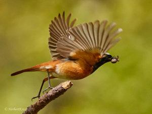 Gartenrotschwanz (Phoenicurus phoenicurus) ♂