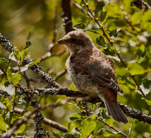 Neuntoeter Jungvogel (Lanius collurio)
