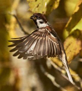 Feldsperling (Passer montanus) ♂